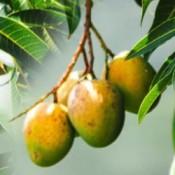 Африканско манго